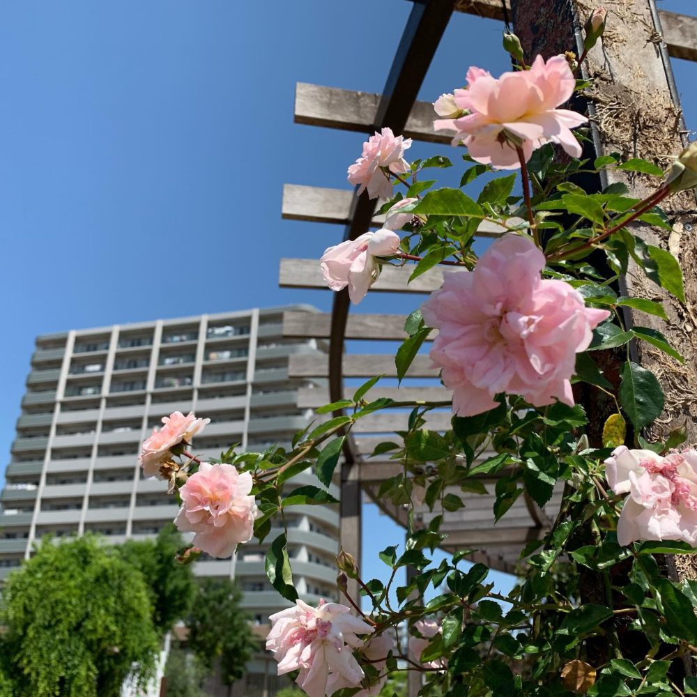 ピンクのバラのイメージ
