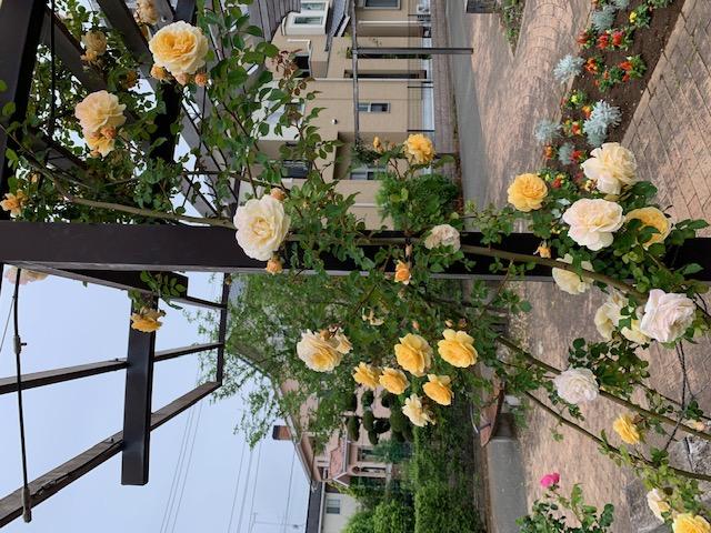 黄色のバラのイメージ